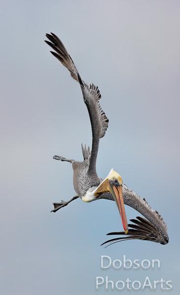 Brown Pelican in Power Dive