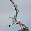 Brown Pelican in Power Dive