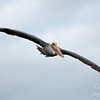 Brown Pelican - Wing to Wing