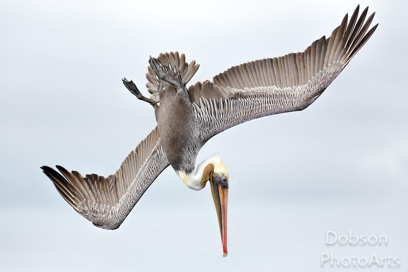 Brown Pelican  Power Dive