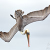 Brown Pelican  Power Dive