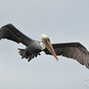 Brown Pelican Soaring