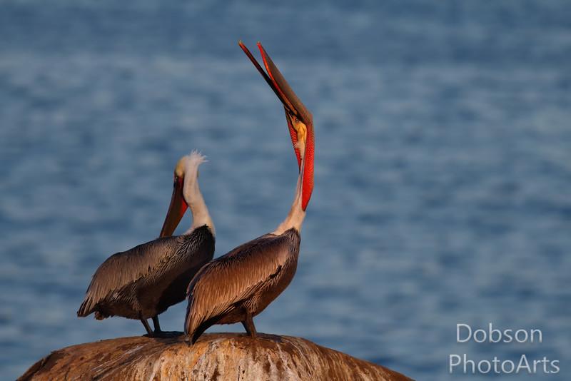 The classic  Pelican head -hrow