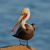 George the Pelican is famous for his furrowed brow look