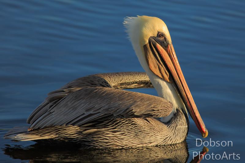 Brown Pelican  - at sunrise
