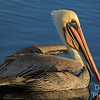 Brown Pelican  - at sunrise