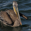 Immature Brown Pelican goes fishing