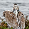 Brown Pelican Napping