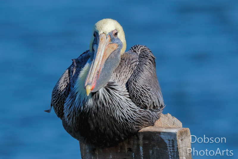 Brown Pelican  Thinking About a Nap