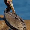 Pelican Reverie