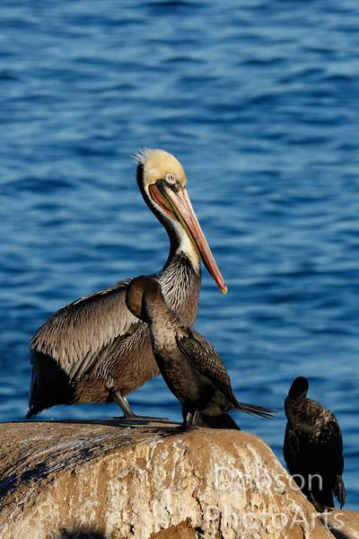 brown pelican and cormorants