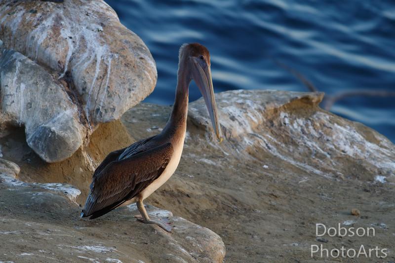 Immature Brown Pelican
