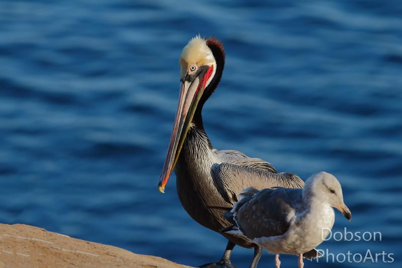 Brown Pelican, Breeding Adult