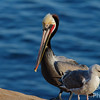 Brown Pelican, Breeding Adult