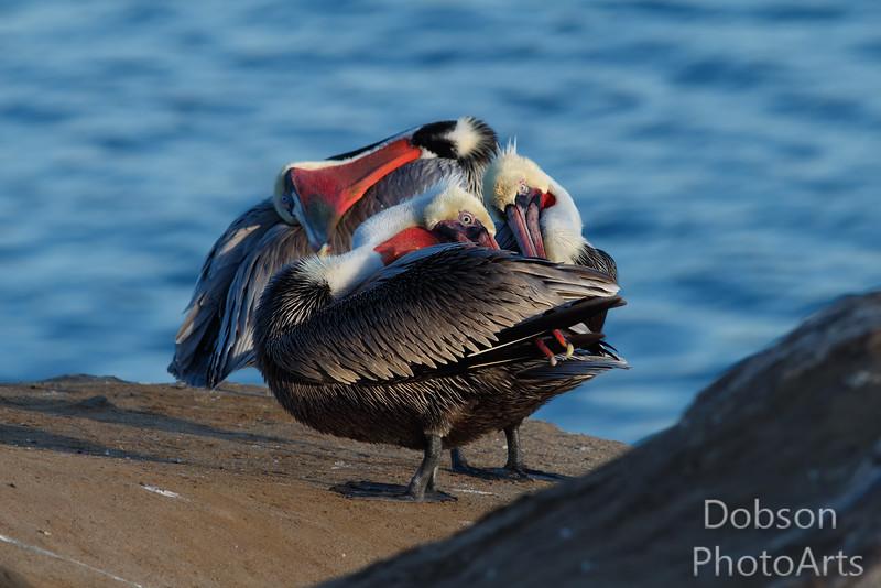 Pelicans - the three tenors