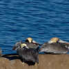 Pelicans doing their best to ignore the local cormorant