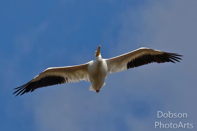 White Pelican  Majesty