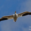 White Pelican  Majesty