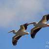 Pelican synchronized flying team