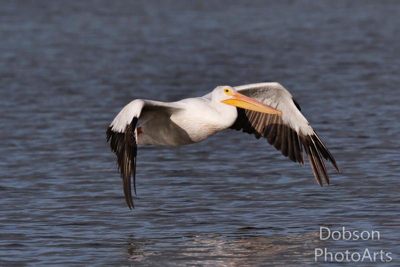 A Pelican Skiim