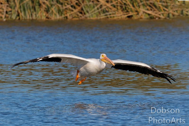 Pelican On Approach