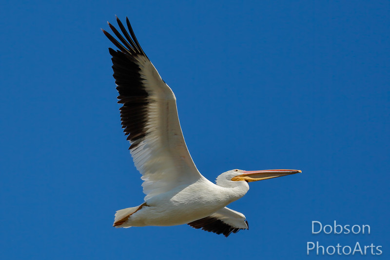 White Pelican  Reaching for the Sky