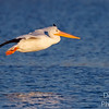 "Pelican on flight track, beginning to drop its ""landing gears"