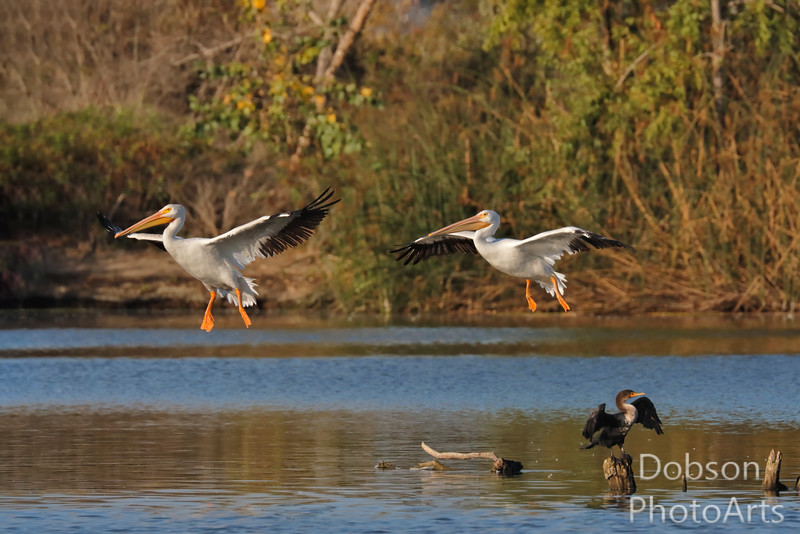 White Pelicans on Approach