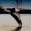 Flying into  the night  and the world of pelican dreams