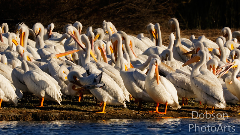 A  white pelican party