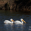 Breeding White Pelican