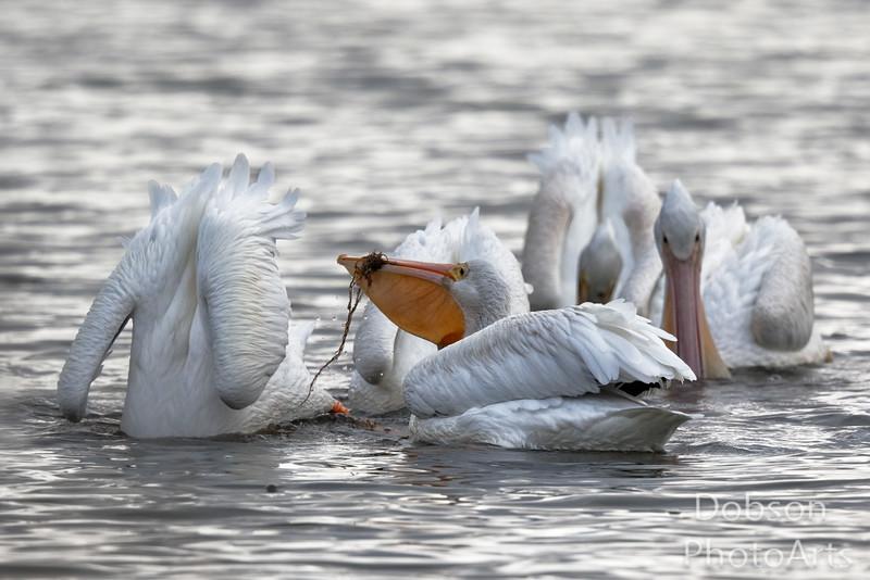 White Pelicans Eating Seaweed