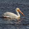 White pelican in breeding plumage