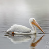 White pelican in fog