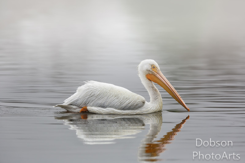 White pelican in fog