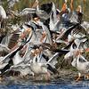 Pelican Jamboree