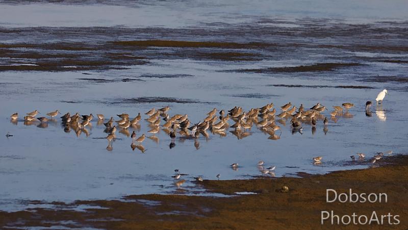 Mixed Shorebird Picnic
