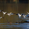 Avocet Formation Flying
