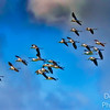 American Avocets in formation
