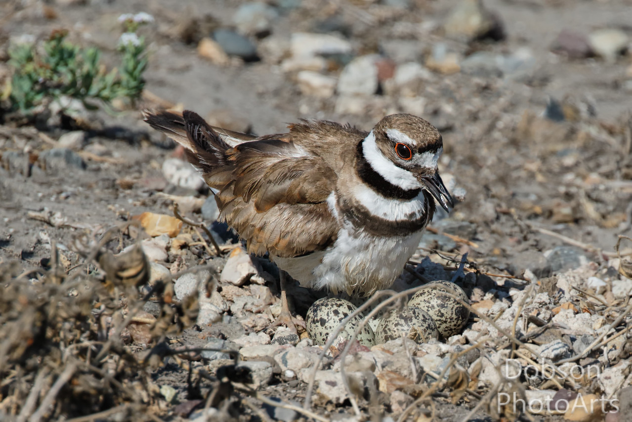 Killdeer on Nest With Eggs