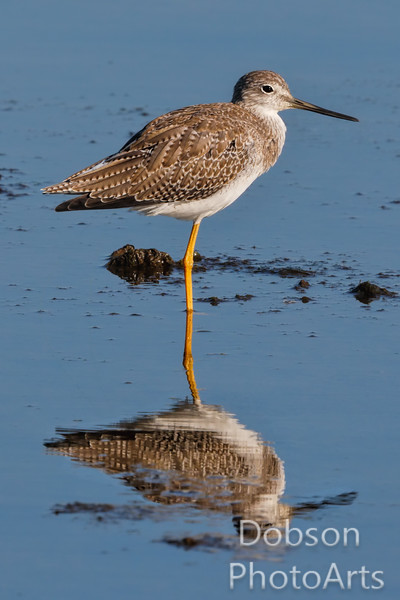 Reflection of a Greater Yellowleg