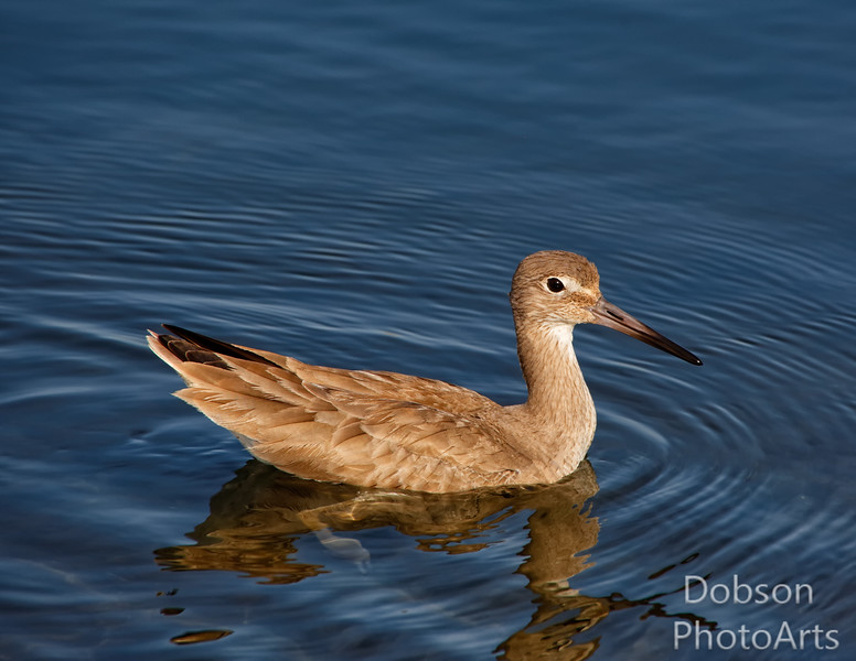 Western Willet -professional floater