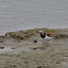 Ruddy Turnstone looking for trouble - or a crab