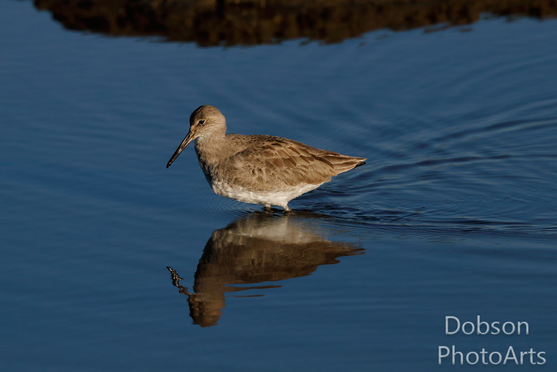 Willet  and reflection