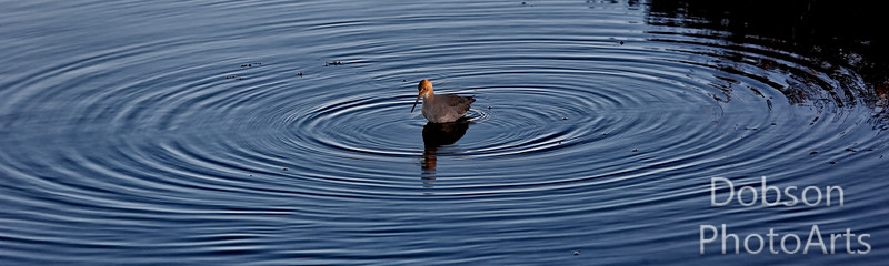 Western Willet in concentric rings