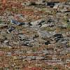 Hiding Plovers