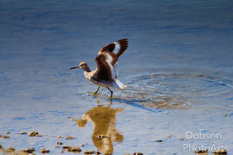 Willet fluffing wings