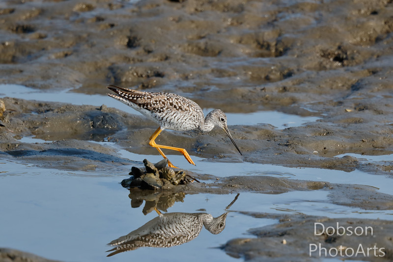 Greater Yellowlegs high stepping