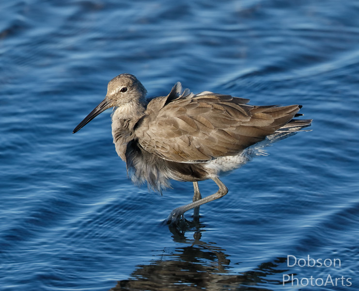 Willet fluffing in the wind