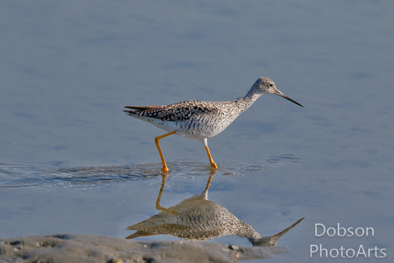 Great Yellowlegs on the prowl